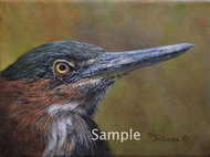 Little Green Heron Study